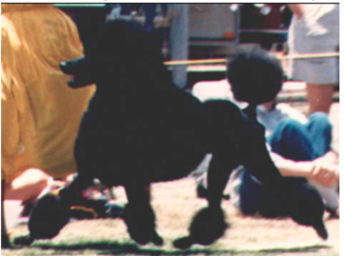 Breeder Spotlight #2 Tiara Poodles – BetterBred com