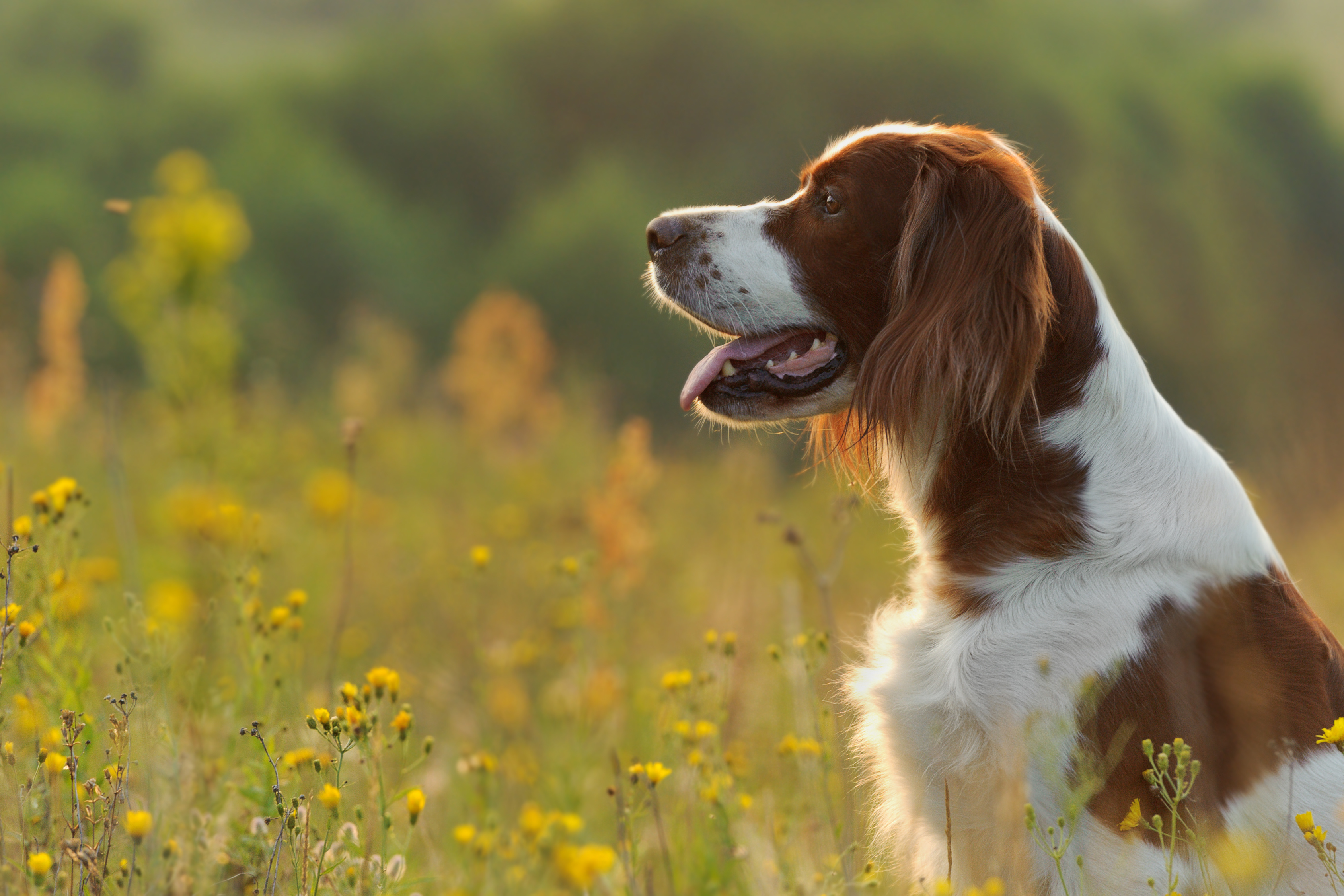 Initial Breed Summary: Irish Red and White Setter ...